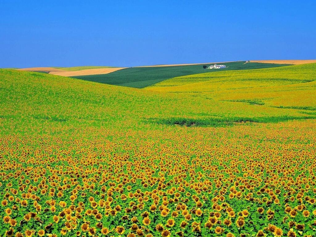 絨毯のようなスペインのひまわり畑