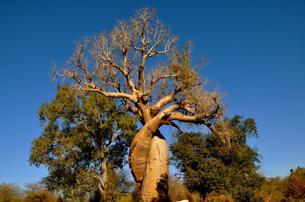 絡み合うバオバブの木々