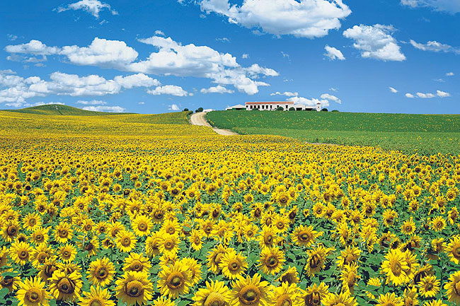スペインのひまわり畑と家と空の風景
