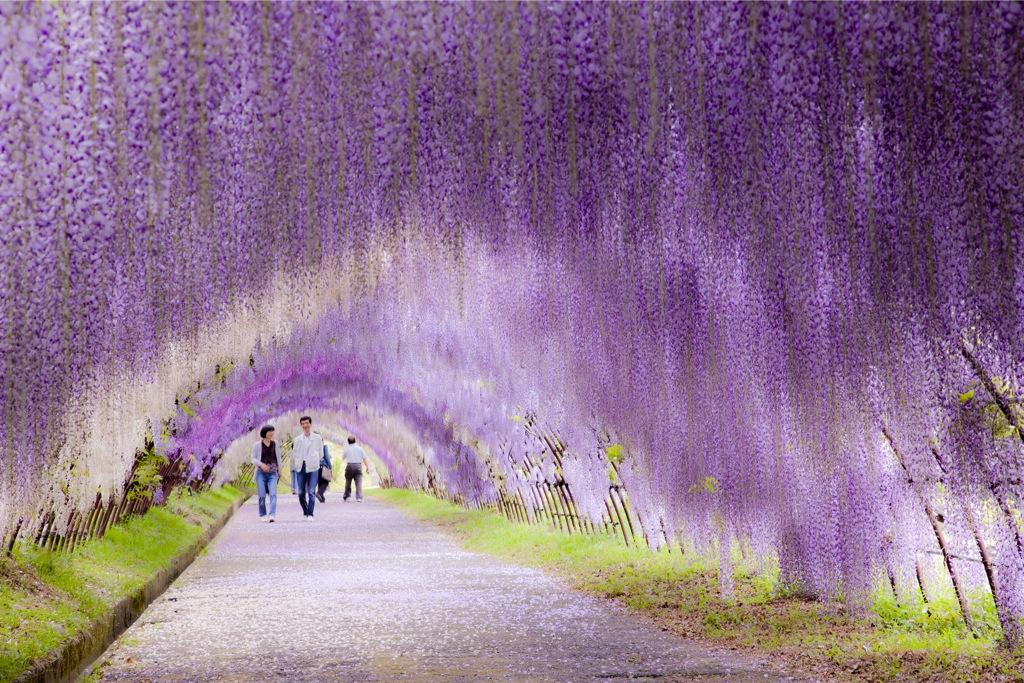 河内藤園の藤のトンネルを歩く人々
