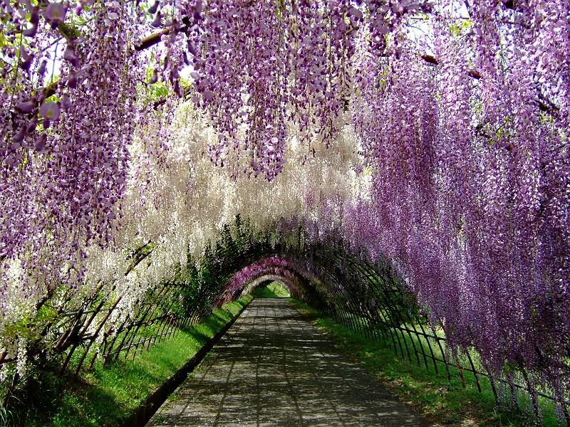 河内藤園の2色の藤のトンネル