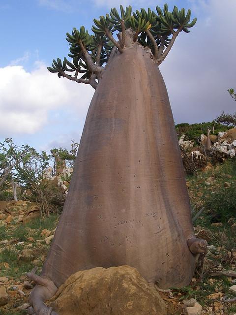 ソコトラ島のとても大きいボトルツリー