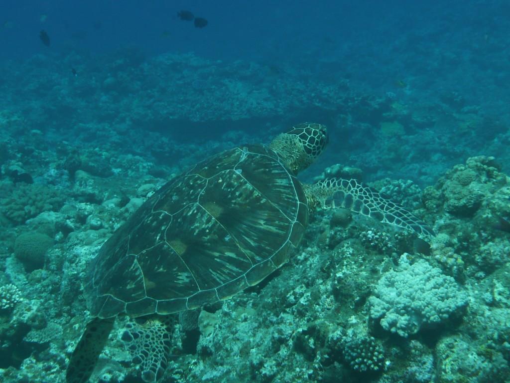 波照間島のウミガメ