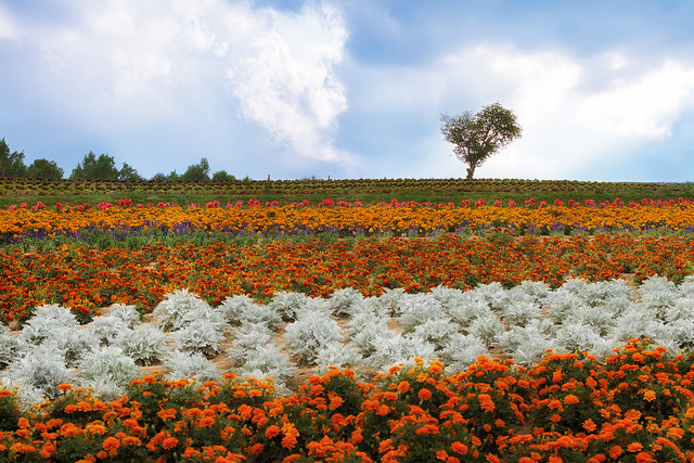 美瑛の花々