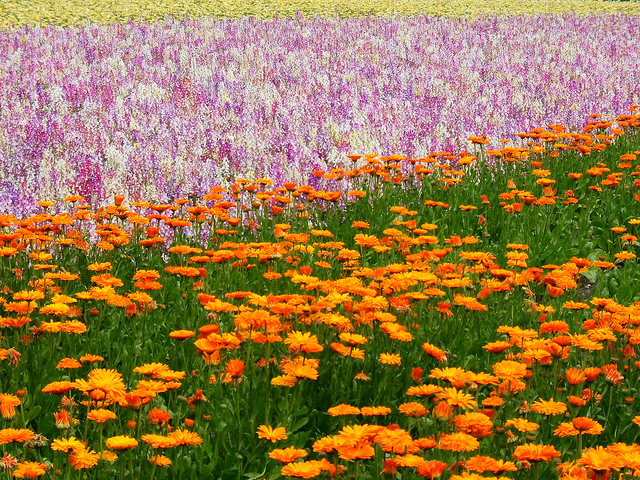 ファーム富田の花々