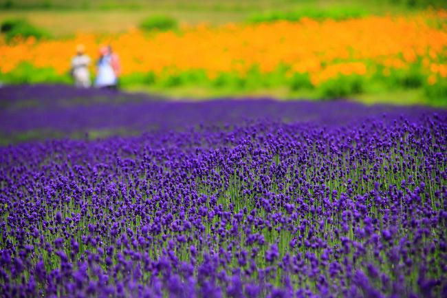 都心から2時間、夏でも涼しい「たんばらラベンダーパーク」で美しい紫の絨毯を堪能しよう