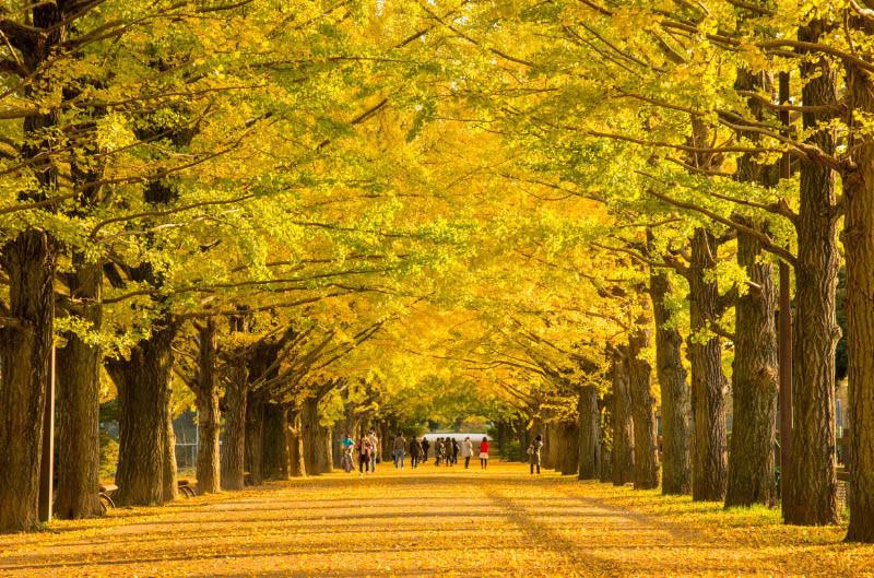 美しすぎる黄色い絨毯。季節を移ろいを感じる「昭和記念公園」がとても魅力的。