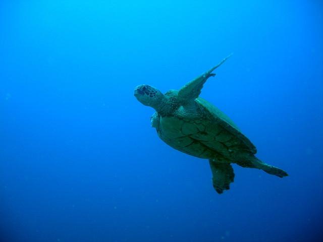 ニイハウ島のウミガメ