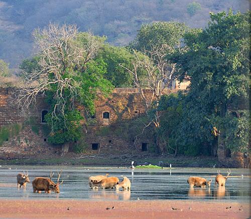 インドの国立公園内でワイルドなアマンを満喫できる「アマニカス」