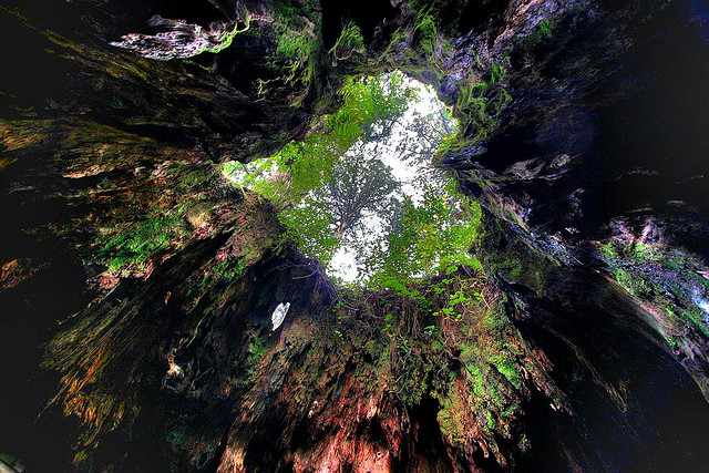 ハート形のウィルソン杉