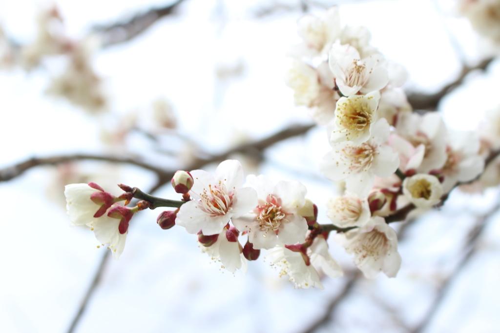 翠嵐 ラグジュアリーコレクションホテル 京都の脇道の梅の花