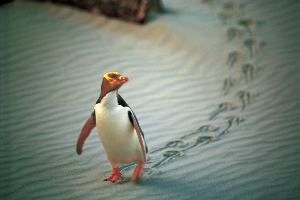ダニーデンのペンギン
