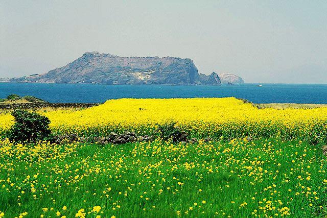 城山日出峰と菜の花畑