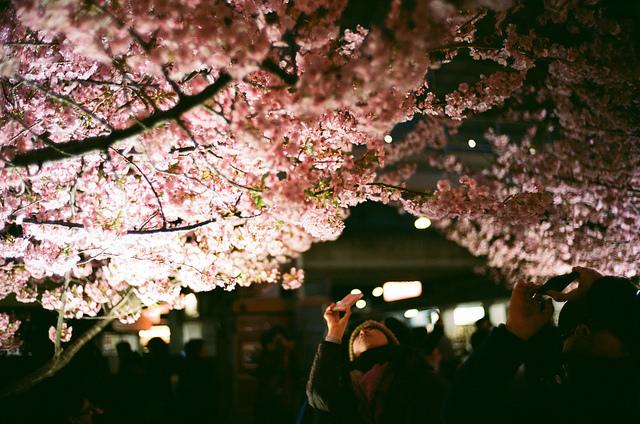 夜桜をとる人
