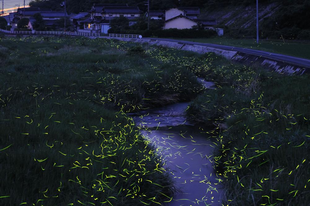天王八幡神社の「キンボタル」