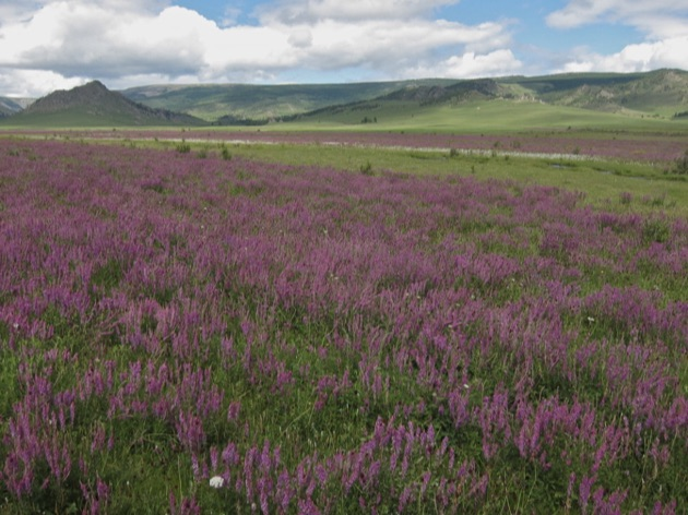 テレルジ国立公園の花畑
