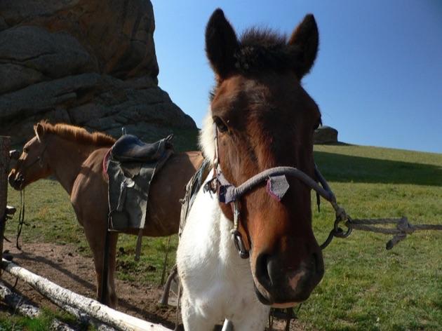 テレルジ国立公園の馬