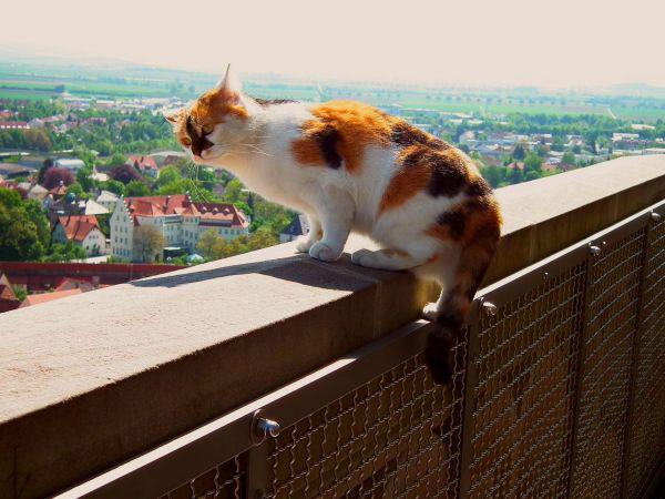 ネルトリンゲンの看板猫