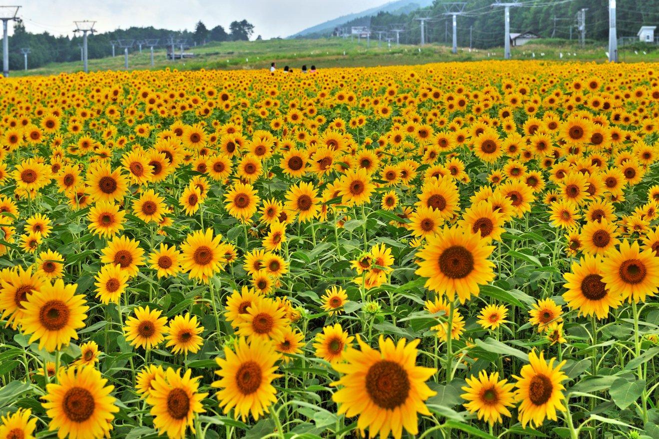 岐阜県飛騨高山「アルコピアひまわり園」