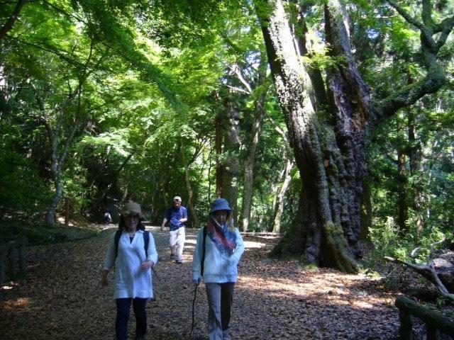 春日山遊歩道の巨木