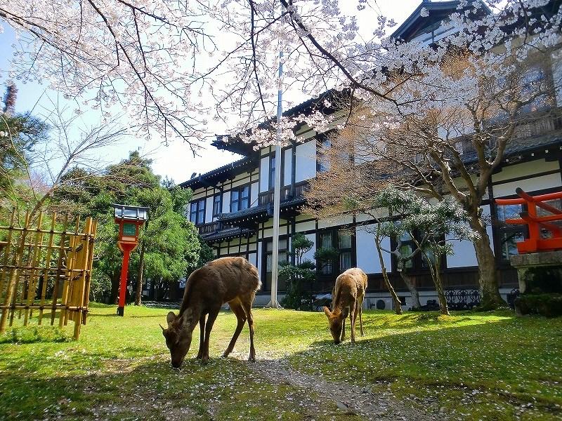 奈良ホテルと桜と鹿