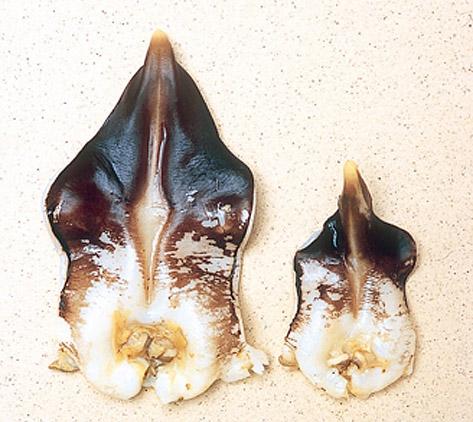 トリ貝大きさ比較