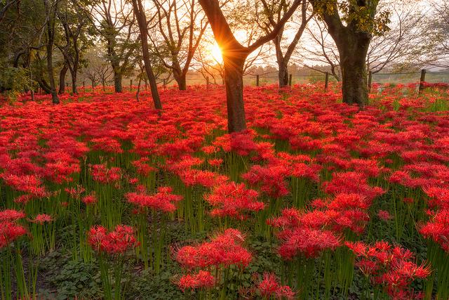日本一のヒガンバナ群生地!埼玉が誇る赤の絶景「ひだか巾着田」