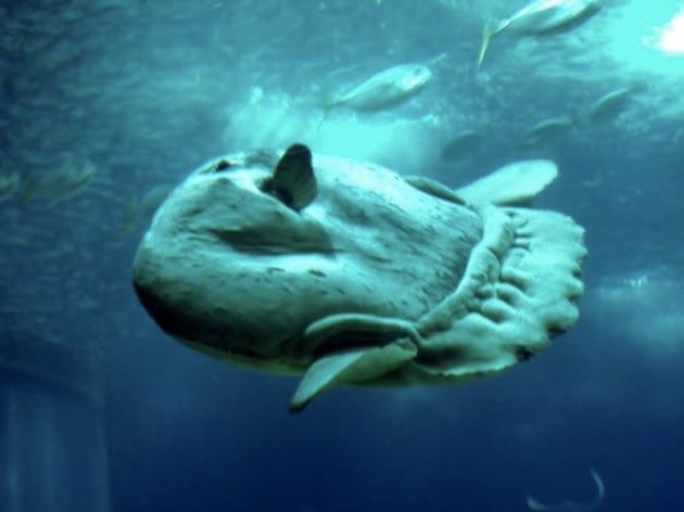 リスボン海洋水族館のマンボ