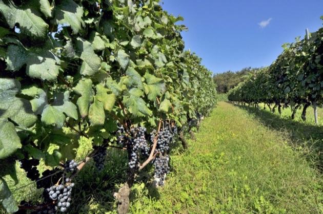 ヴィラデストワイナリーのブドウ畑