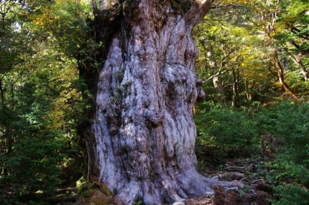 屋久島縄文の杉