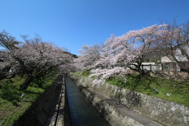 大津市 琵琶湖疏水の桜