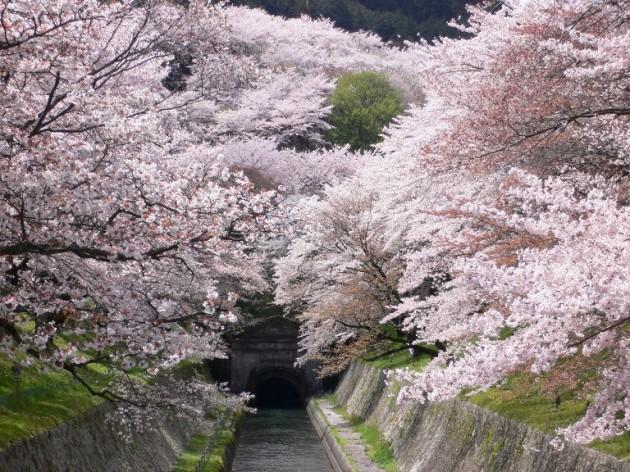 大津市 琵琶湖疏水の桜01