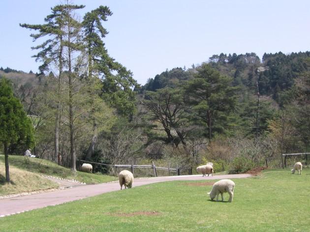 六甲山牧場の羊達