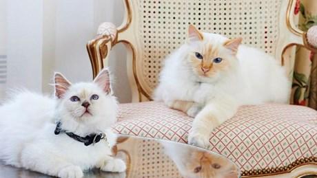 ル ブリストル パリ ホテルにいる猫